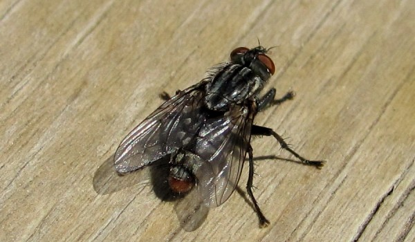 Photo of a flesh fly on wood.