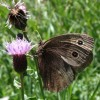 Photo of a Common Wood-nymph butterfly on thistle flower head.