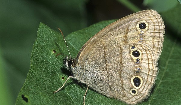 Photo of a Little Wood Satyr butterfly on a leaf.