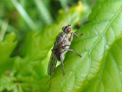 Photo of a scathophagid fly on a leaf.