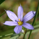 Photo of a Blue-eyed Grass plant.