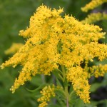 Photo of a Canada Goldenrod plant.