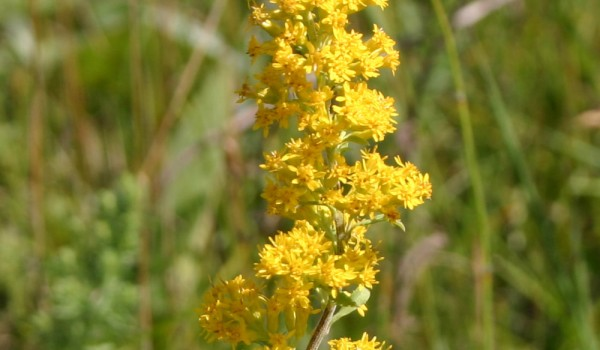 Photo of a Showy Goldenrod plant.