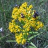 Photo of a Riddell's Goldenrod with flower flies and an ambush bug on its flowers.