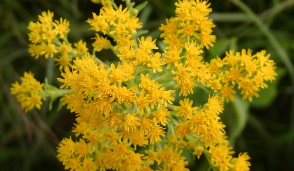Photo of a Rigid Goldenrod plant.
