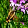 Photo of a Hummingbird Clearwing moth feeding on flower nectar.