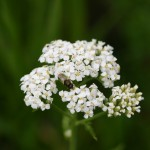 Photo of a soldier fly on a Common Yarrow flower head.