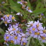 Photo of a Smooth Aster plant.