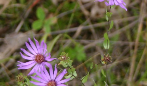 Photo of a Western Silvery Aster plant.