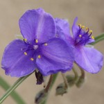 Photo of a Western Spiderwort plant.