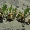 Photo of a Sand Verbena plant.