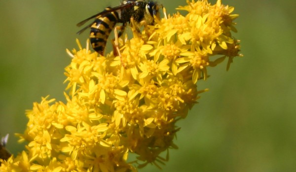 Photo of a yellowjacket wasp on Showy Goldenrod flower heads.