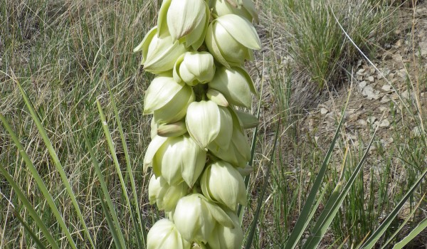 Photo of a Soapweed plant.