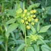 Photo of a Golden Alexander plant.