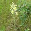 Photo of a Smooth Camas plant.