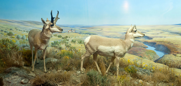 Photo of the 'Pronghorn: The Last New World Antelope' diorama in the Grasslands Gallery at The Manitoba Museum, Winnipeg.