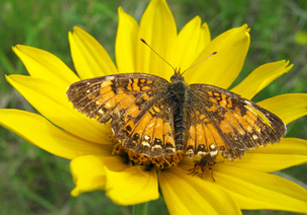 Photo of a Silvery Checkerspot butterfly and a thick-headed fly on the flower of a False Sunflower.