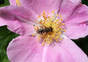 Photo of a flower fly on a rose flower.