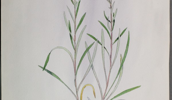 Photo of a watercolour of an Upland White Goldenrod plant.