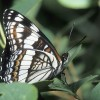 Photo of a Mormon Metalmark butterfly.