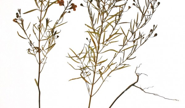 Photo of a pressed herbarium specimen of Gattinger's Agalinis.
