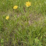 Photo of a Large-flowered False Dandelion plant.