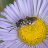 Photo of a cuckoo bee on a fleabane flower head.
