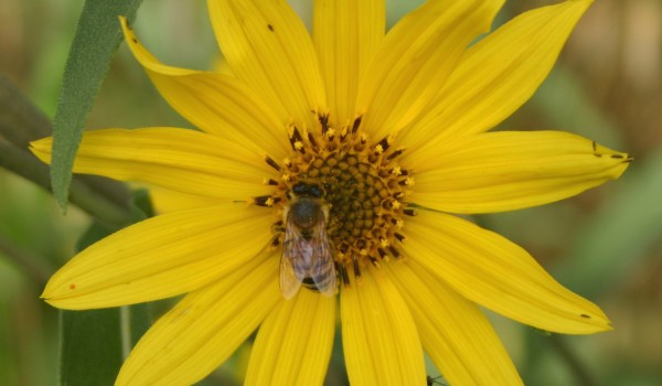 Photo of a bumblebee on a Narrow-leaved Sunflower head.