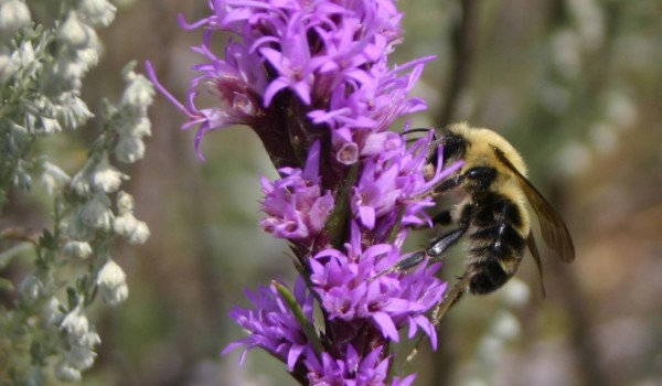 Photo of a bumblebee on a Dotted Blazingstar flower head.