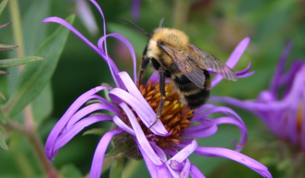 Photo of a Lindley's Aster plant with a bumblebee on it.