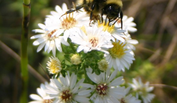 Photo of a bumblebee on a Many-flowered Aster flower head.