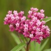 Photo of a Swamp Milkweed plant.