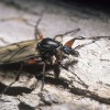 Photo of a march fly on bark.