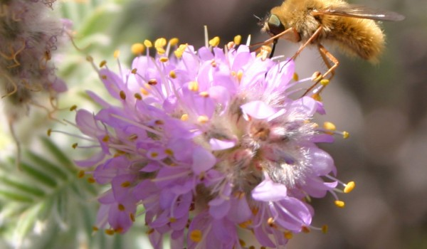 Photo of a bee fly on Hairy Prairie-clover flowers.