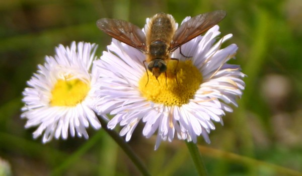 Photo of a bee fly on a Smooth Fleabane flower head.