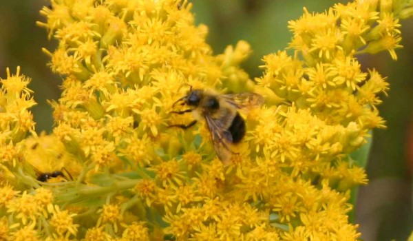 Photo of a bee fly on Canada Goldenrod flower heads.