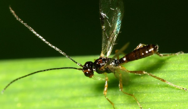 Photo of a braconid wasp on a leaf.