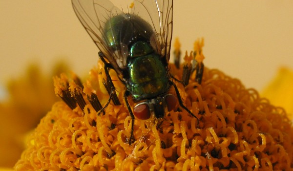 Photo of a blow fly on Smooth Ox-eye flower head.