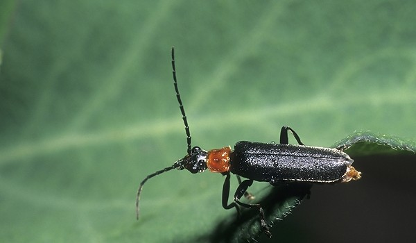 Photo of a soldier beetle.