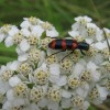 Photo of a Red-blue Checkered Beetle on a Common Yarrow flower head.