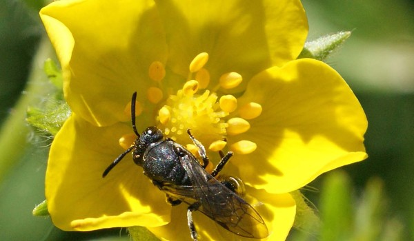 Photo of a yellow-faced bee on a Shrubby Cinquefoil flower.