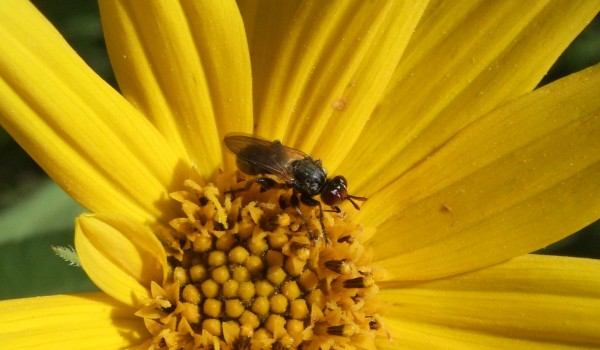 Photo of a thick-headed fly on a sunflower head.