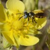 Photo of a beewolf on a Shrubby Cinquefoil flower.