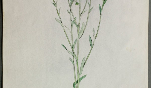 Photo of a watercolour painting of a Daisy Fleabane plant.