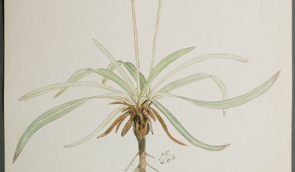 Photo of a watercolour painting of a Large-flowered False Dandelion plant.
