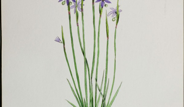 Photo of a watercolour painting of a Blue-eyed Grass plant.
