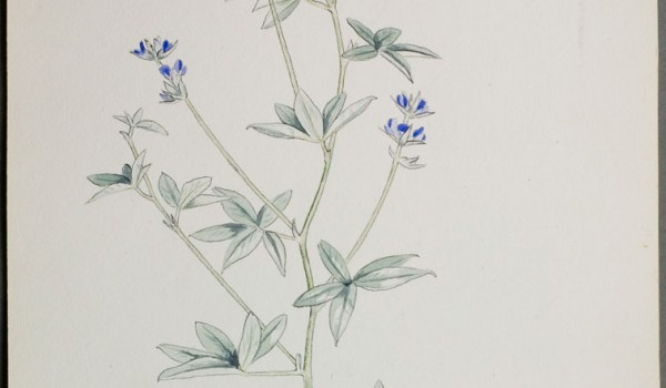 Photo of a watercolour painting of a Silverleaf Psoralea plant.