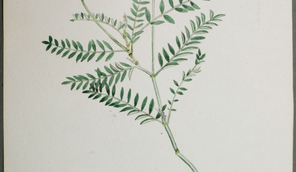 Photo of a watercolour painting of a Ascending Purple Milk-vetch plant.