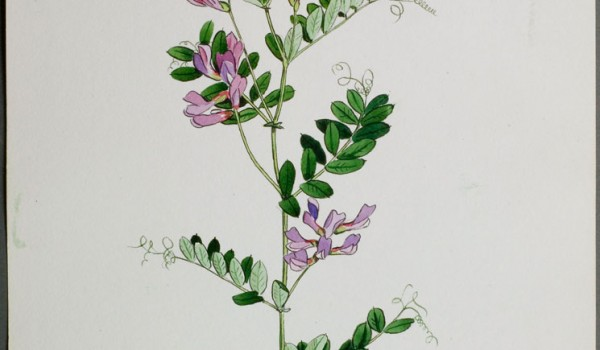 Photo of a watercolour painting of an American Vetch plant.