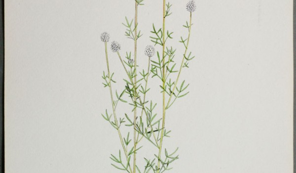 Photo of a watercolour painting of a Purple Prairie-clover plant.